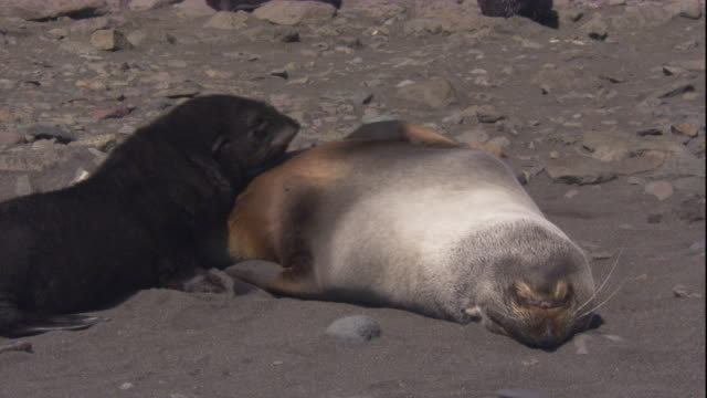 An Antarctic fur seal pup suckles from its mother on a beach. Available in HD.