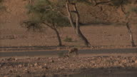 An antelope grazes at the edge of a desert road.