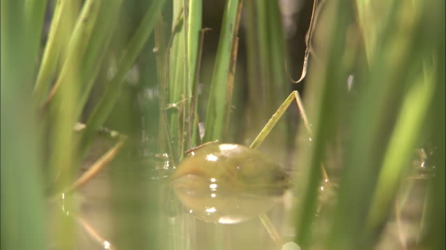 An apple snail moves in a paddy field. Available in HD.