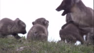 An arctic fox and cubs play together on the Arctic tundra in Canada. Available in HD
