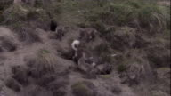 An Arctic fox and cubs scamper around their den site in Arctic Canada. Available in HD