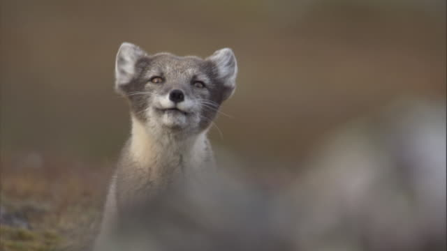 An arctic fox calls on the tundra of Miller's Camp in Svalbard, Norway.