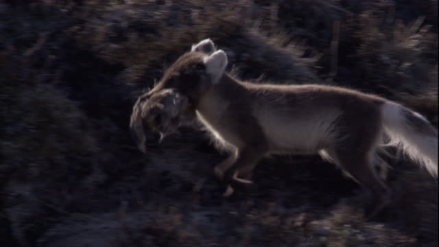 An Arctic fox carries its rodent prey over the tundra in Arctic Canada. Available in HD.