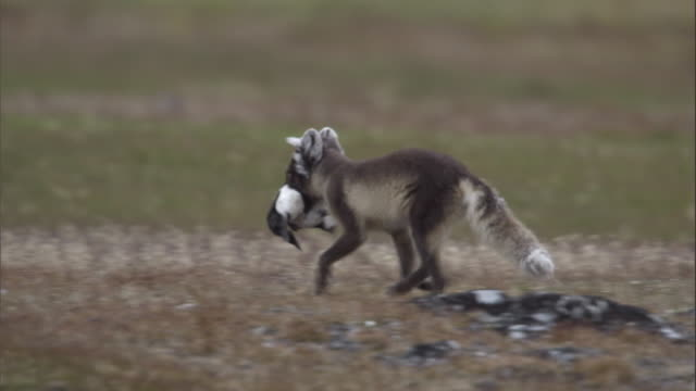 An arctic fox carries the carcass of a Brunnich's guillemot across the tundra in Svalbard, Norway.