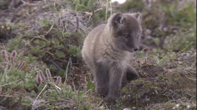 An arctic fox cub calls on tundra. Available in HD.