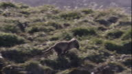 An arctic fox cub leaps across grassy mounds on tundra and enters its den in the Canadian Arctic. Available in HD.