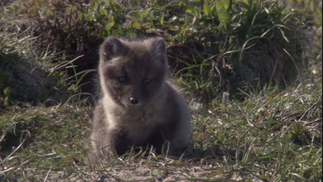 An Arctic fox cub rests on tundra near its den in Arctic Canada. Available in HD.