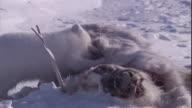 An Arctic fox feeds on the carcass of a caribou.