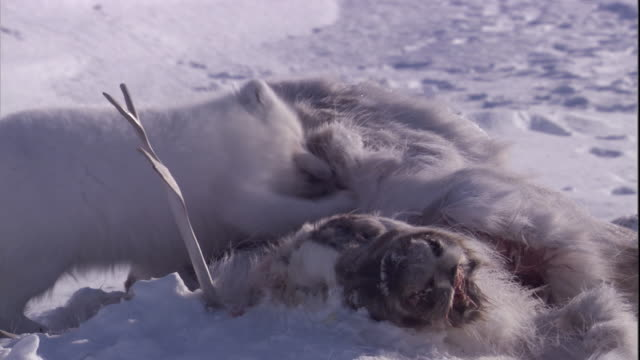 An Arctic fox feeds on the carcass of a caribou.