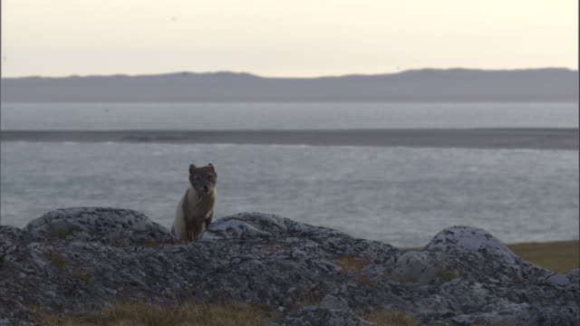 An arctic fox howls on the coast in Miller's Camp in Svalbard, Norway.