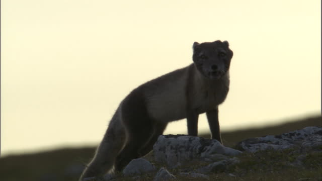 An arctic fox howls on top of a rock at sunset in Miller's Camp in Svalbard, Norway.