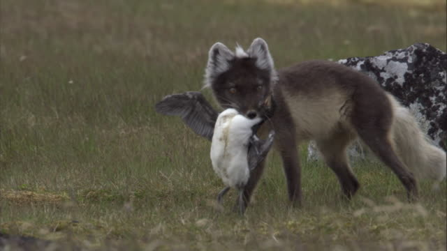 An arctic fox kills a Brunnich's guillemot in Svalbard, Norway.