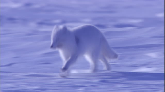 An arctic fox runs on snow. Available in HD.