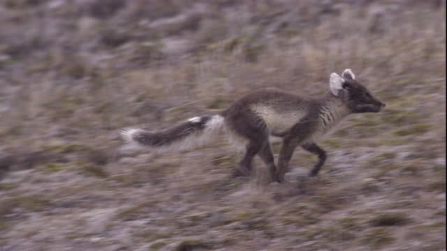 An arctic fox runs on the tundra in Arctic Canada. Available in HD