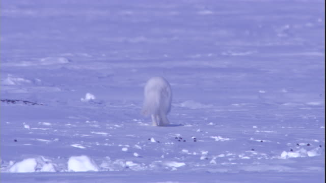 An arctic fox scampers over snow. Available in HD.