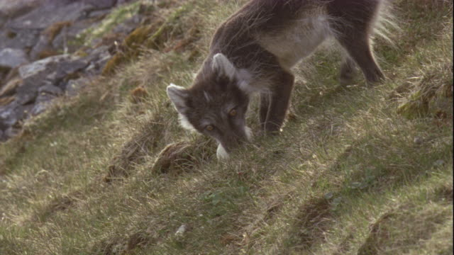 An Arctic fox steals a snow goose egg and carries it down a grassy slope.