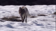 An Arctic fox trots over the snowy tundra of Arctic Canada. Available in HD.