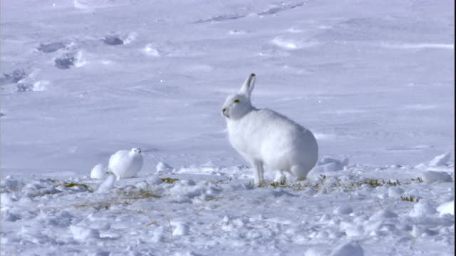 An arctic hare and ptarmigans forage on the snowy tundra of Arctic Canada. Available in HD.