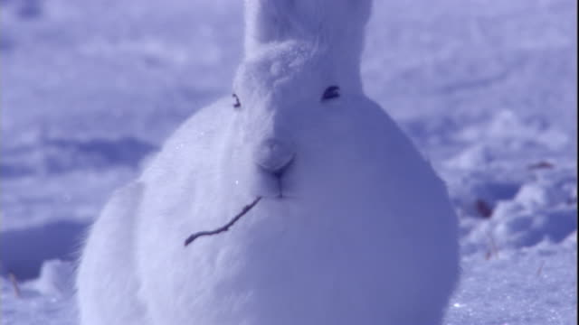 An arctic hare chews food on a snowy tundra in the Canadian Arctic. Available in HD.