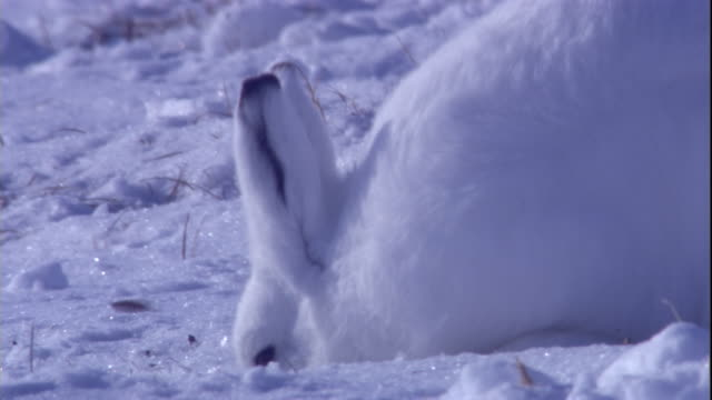 An arctic hare digs in the snow on a tundra in the Canadian Arctic. Available in HD.