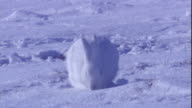 An arctic hare digs through snow for food on a tundra in the Canadian Arctic. Available in HD.