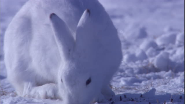 An arctic hare grazes in snow on a tundra in the Canadian Arctic. Available in HD.