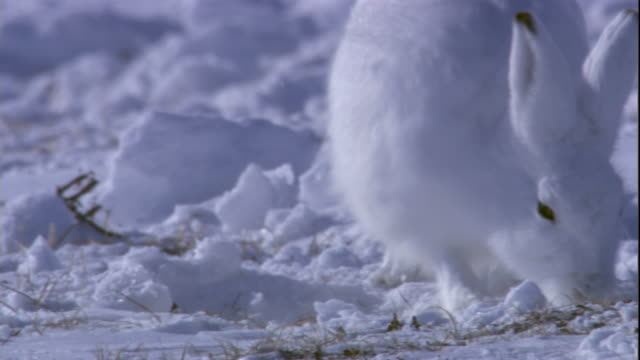 An arctic hare grazes on a snowy tundra in the Canadian Arctic. Available in HD.