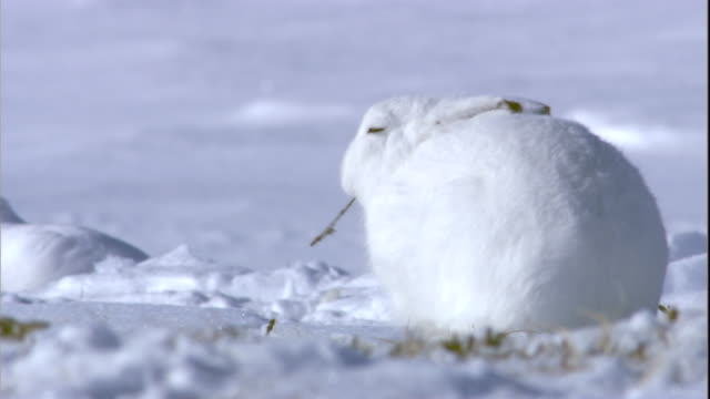 An arctic hare grazes on grass hidden beneath the snow on a tundra in Arctic Canada. Available in HD.