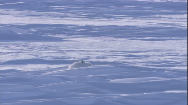 An arctic hare lies on the snowy tundra. Available in HD.