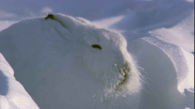 An arctic hare with frozen whiskers hides between snow drifts. Available in HD.