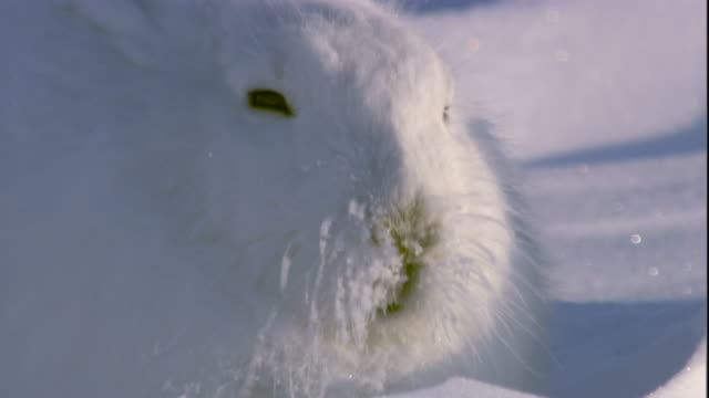 An arctic hare with frozen whiskers on snowy tundra. Available in HD.