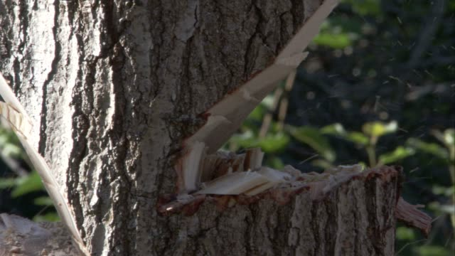 An ax chops at a thick, gray tree trunk. Available in HD.
