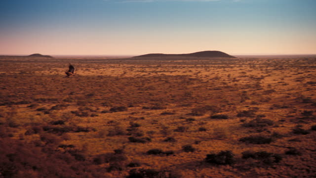 An eagle soars over the Kalahari Desert. Available in HD.
