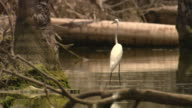 An egret wades in a swamp.