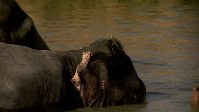 An elephant breathes through its trunk while bathing in muddy water. Available in HD