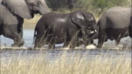 An elephant calf holds the tail of its mother as the herd crosses a watering hole. Available in HD.
