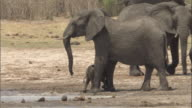 An elephant calf takes shelter under its mother at a watering hole. Available in HD