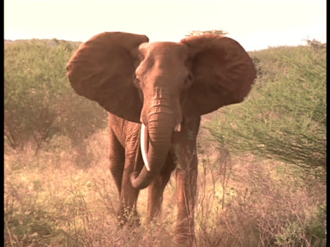 An elephant charges through dense brush.