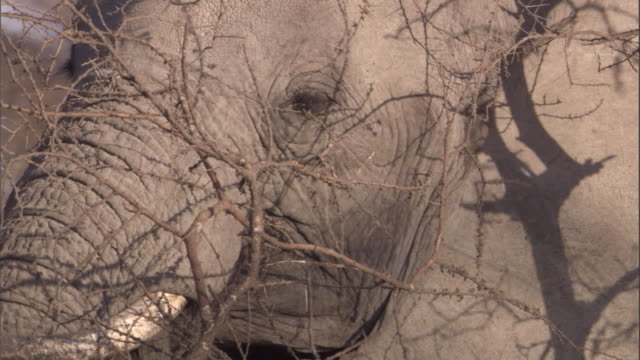 An elephant feeds on twigs in the Serengeti. Available in HD.