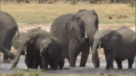 An elephant herd drinks at a watering hole. Available in HD.