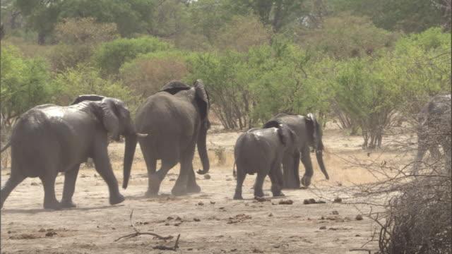 An elephant herd walks across a dry mud plain. Available in HD.