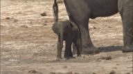 An elephant herds her calf with her trunk. Available in HD