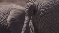 An elephant swishes its tail near other elephants in Ndutu, Tanzania. Available in HD.