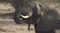 An elephant uses its trunk to drink water. Available in HD.