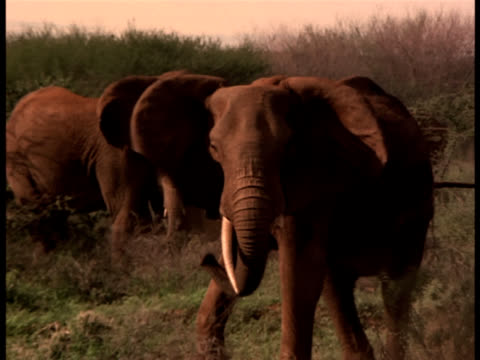 An elephant with a broken tusk charging and then backing away.
