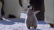 An emperor penguin chick yawns and stretches in colony in Antarctica. Available in HD.