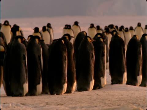 An emperor penguin colony waddles across ice in Antarctica.