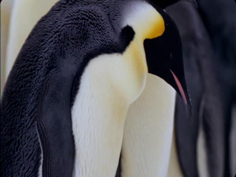 An Emperor penguin feeds its chick in Antarctica.