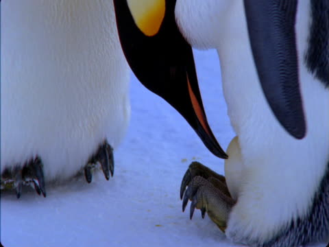 An emperor penguin incubates an egg on its feet in Antarctica.