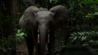 An endangered Forest Elephant in Gabon